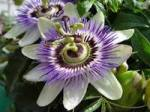Passion Flower. A vine.