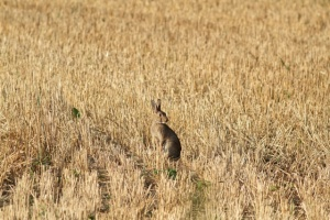 Rabbit in wheat field.